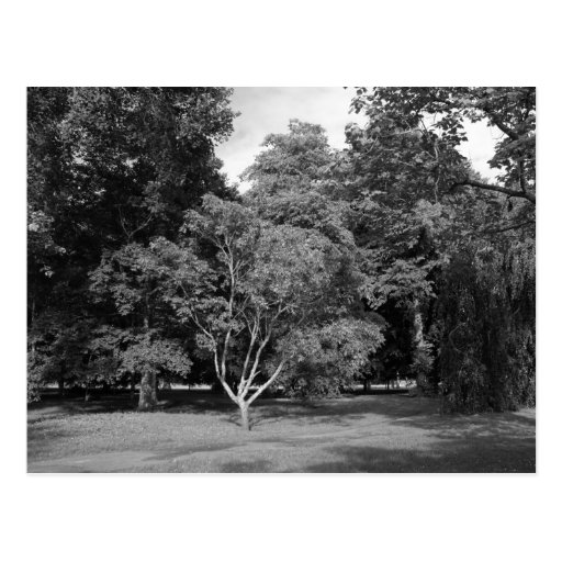 Trees in Summer BW Post Card
