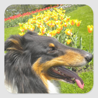 Tri Collie N the Tulips Stickers