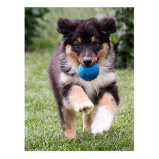 Tri Colored Australian Shepherd Pup Postcard