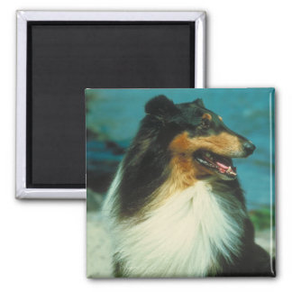 Tri-Colored Collie Rough Coat Magnet