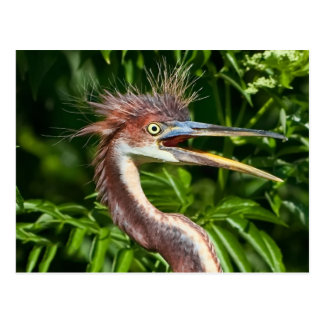 Tri-colored Heron with Bad Hair Day Postcard