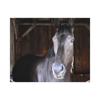 Trick Phone, a 2 year old Colt Canvas Prints