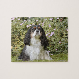 Tricolour Cavalier King Charles Spaniel on grass Jigsaw Puzzle