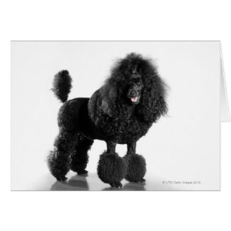 Trimmed black Poodle Card