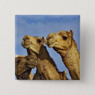 Trio of camels, camel market, Cairo, Egypt 15 Cm Square Badge