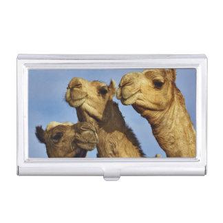 Trio of camels, camel market, Cairo, Egypt Business Card Holder