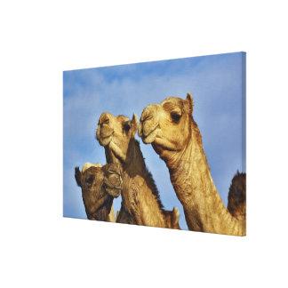 Trio of camels, camel market, Cairo, Egypt Canvas Print