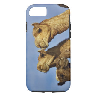 Trio of camels, camel market, Cairo, Egypt iPhone 8/7 Case