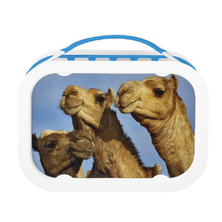 Trio of camels, camel market, Cairo, Egypt Lunchbox