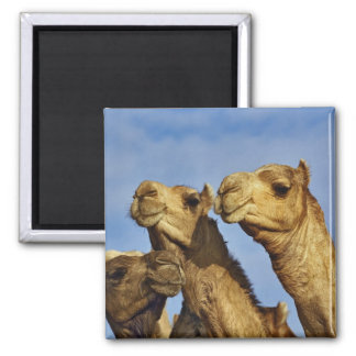 Trio of camels, camel market, Cairo, Egypt Magnet