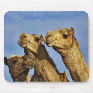 Trio of camels, camel market, Cairo, Egypt Mouse Mat