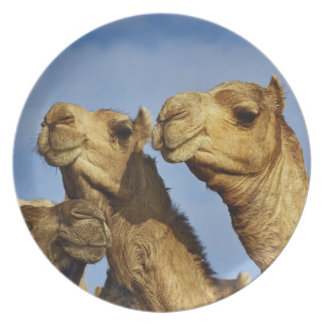 Trio of camels, camel market, Cairo, Egypt Plate