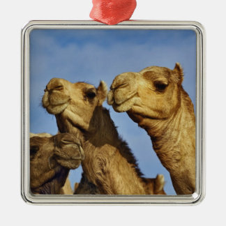Trio of camels, camel market, Cairo, Egypt Silver-Colored Square Decoration