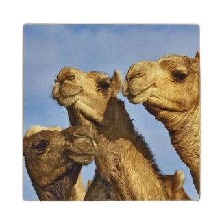 Trio of camels, camel market, Cairo, Egypt Wood Coaster