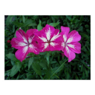Trio of Hot Pink Phlox Poster