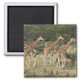 Trio of Rothschild's Giraffes, Lake Nakuru Square Magnet