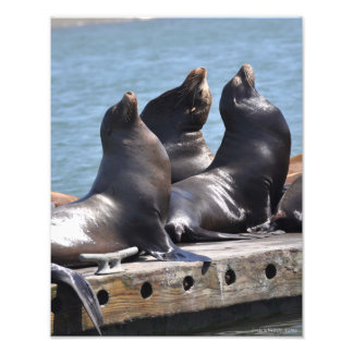 Trio of Sea Lions Basking in the Sun Photograph