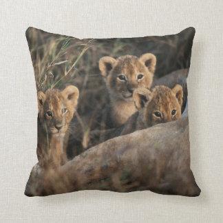 Trio of six week old Lion cubs sitting Cushion