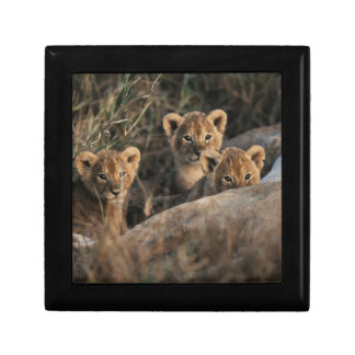Trio of six week old Lion cubs sitting Gift Box