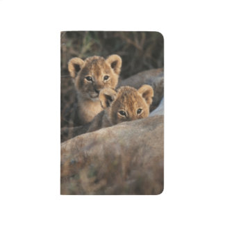 Trio of six week old Lion cubs sitting Journal