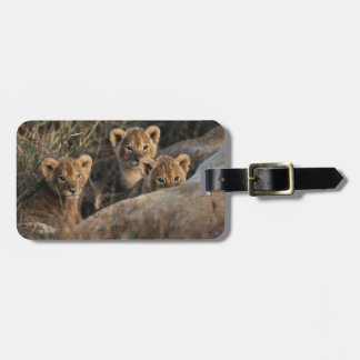 Trio of six week old Lion cubs sitting Luggage Tag