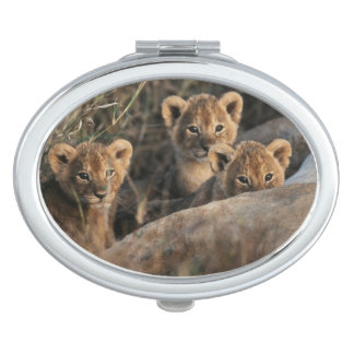Trio of six week old Lion cubs sitting Mirror For Makeup