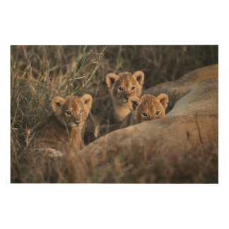Trio of six week old Lion cubs sitting Wood Wall Decor