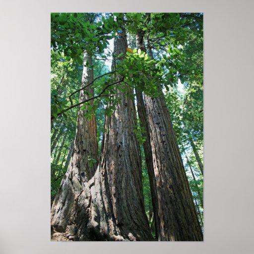 """""""Tripletrees"""", Muir Woods Poster"""