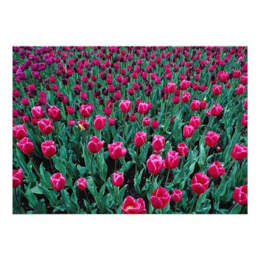 Triumph tulips personalized announcements