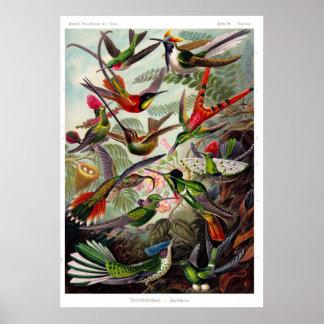 Trochilidae Hummingbird Poster