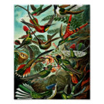 Trochilidae - Hummingbirds Poster