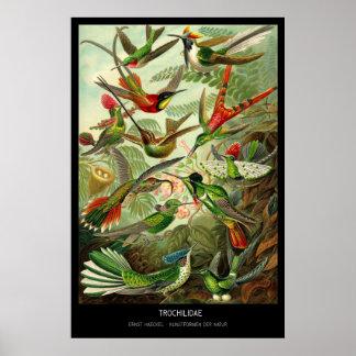 Trochilidae – Plate 99 - Kunstformen der Natur Poster