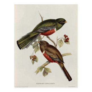 Trogon Collaris Postcard
