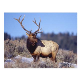 Trophy Elk Postcard
