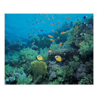 Tropical fish swimming over reef poster