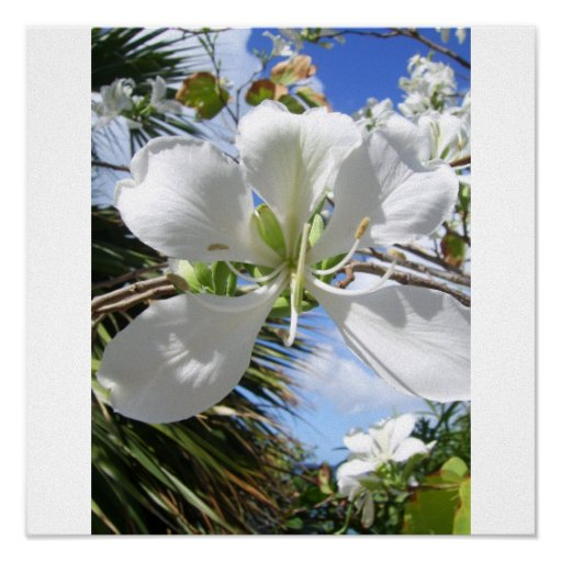 Tropical Orchid Tree Blossom Poster