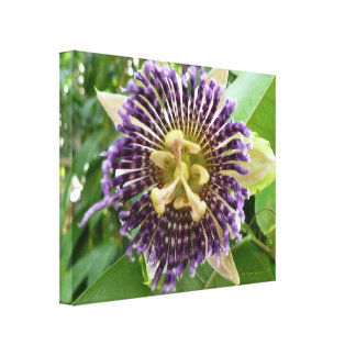Tropical Purple Passion Flower Blossom Canvas Print