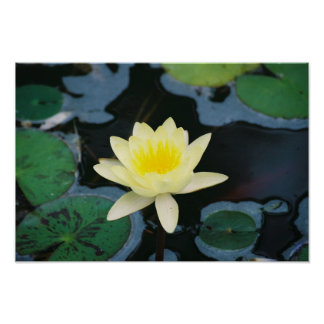 Tropical Water Lily Poster