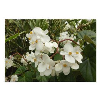 Tropical White Begonia Flowers Photo Art