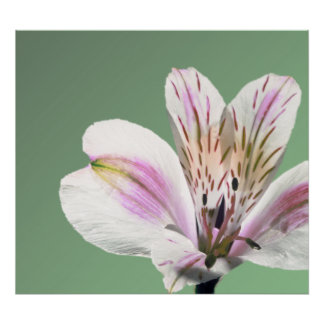Trumpet Lily Poster