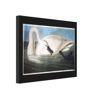 Trumpeter Swan by John James Audubon Canvas Print