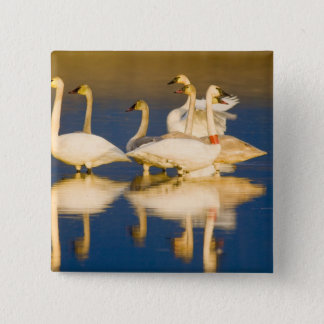 Trumpeter swan family in last light at pond at 2 15 cm square badge