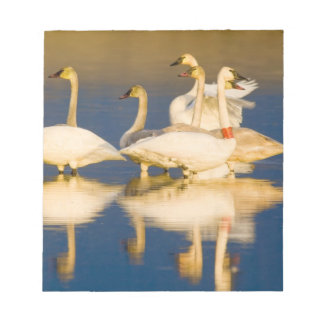 Trumpeter swan family in last light at pond at 2 notepad