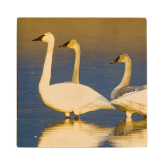 Trumpeter swan family in last light at pond at 2 wood coaster