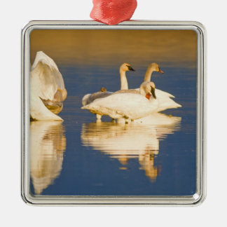 Trumpeter swan family in last light at pond at christmas ornament