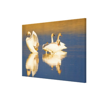 Trumpeter swan family in last light at pond at gallery wrap canvas