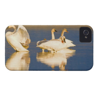 Trumpeter swan family in last light at pond at iPhone 4 case