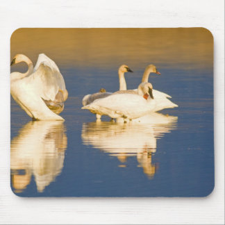 Trumpeter swan family in last light at pond at mouse mat