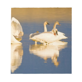 Trumpeter swan family in last light at pond at notepad