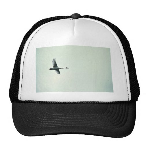 Trumpeter Swan over Martin Lake Hat
